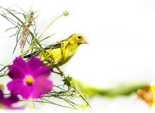 Yellow Goldfinch with white  background Stock Photos