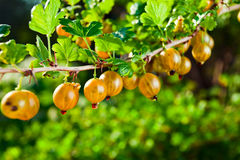 Yellow gooseberry Royalty Free Stock Photography