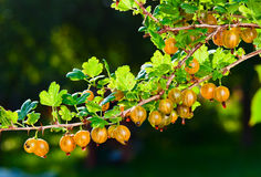 Yellow gooseberry Royalty Free Stock Image