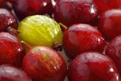 Yellow gooseberry among red gooseberries Royalty Free Stock Images