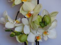 """Yellow gorgeous bloom of Phalaenopsis, """"moth orchids"""", buds. Beautiful exotic flowers indoor plants. royalty free stock photography"""