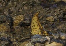 Yellow Gorgon butterfly, Meandrusa payeni, Garo Hills, Meghalaya