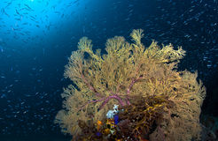 Yellow Gorgonian Seafan with glassfish and blue water Background. Stock Images