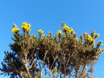 Yellow Gorse against the blue sky. Found in Ireland stock photos