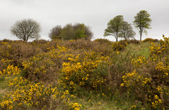 Yellow gorse and beech trees Royalty Free Stock Images