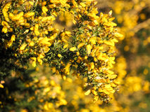 Yellow Gorse in flower Royalty Free Stock Photo