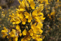 Yellow gorse flowers. In early spring Royalty Free Stock Photos