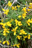 Yellow gorse flowers. Bright yellow common gorse flowers Royalty Free Stock Images