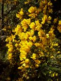 Yellow Gorse Flowers in a Bush Royalty Free Stock Photo