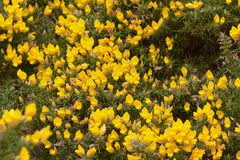 Yellow Gorse flowers Stock Images