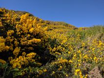 Yellow gorse. With a deep blue sky Stock Photography