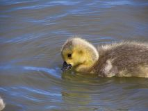 Yellow Gosling Takes a Drink royalty free stock images
