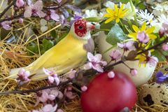 Yellow Gouldian finch between blooming twigs and a red Easter egg. The spring flowers are Ranunculus, Chamomile, Wild Violets, Polish Primrose and Shepherd`s stock images