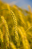 Yellow grain. Ready for harvest growing in a farm field Royalty Free Stock Image