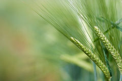 Yellow grain. Ready for harvest growing in a farm field Stock Image