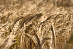 Yellow grain Royalty Free Stock Photography