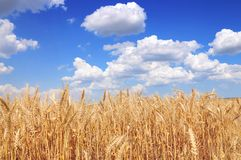 Yellow grain Stock Photography