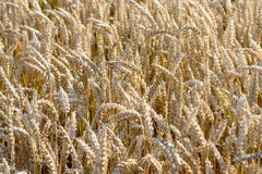 Yellow grain in a farm field Royalty Free Stock Photo