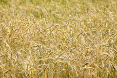 Yellow grain in the field Royalty Free Stock Photos