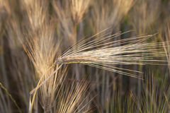 Yellow grain in the field Royalty Free Stock Photo