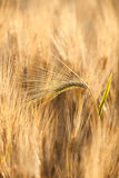 Yellow grain in the field Stock Photography