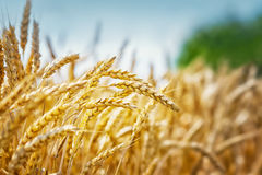 Yellow grain field Stock Image