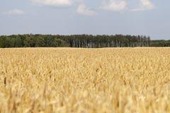 Yellow grain field. Royalty Free Stock Photos