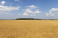 Yellow grain field. Stock Photo