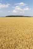Yellow grain field. Stock Photos