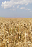 Yellow grain field. Stock Images
