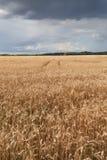 Yellow grain field Stock Photos