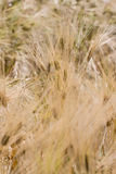 Yellow grain Stock Images