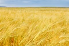 Yellow grain growing in a farm field. Royalty Free Stock Image