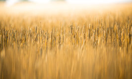 Yellow grain is harvested on field. Stock Photography