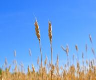 Yellow Grain Ready For Harvest Royalty Free Stock Photos
