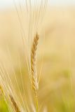 Yellow grain ready for harvest. Growing in a farm field Stock Photos