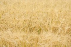 Yellow grain ready for harvest. Growing in a farm field Royalty Free Stock Images