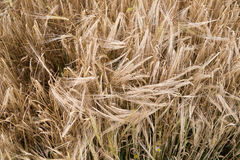 Yellow grain ready for harvest Stock Images