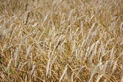 Yellow grain ready for harvest Royalty Free Stock Images
