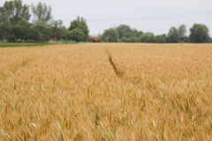 Yellow grain ready for harvest growing in a farm field Royalty Free Stock Photography