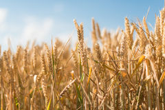 Yellow grain ready for harvest growing Royalty Free Stock Photography