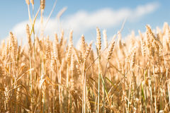 Yellow grain ready for harvest growing Royalty Free Stock Image