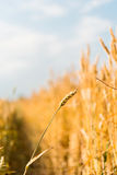 Yellow grain ready for harvest growing in farm field Stock Photos