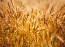 Yellow grain ready for harvest growing in a farm field Stock Image