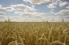Yellow grain ready for harvest growing in a farm field.  Stock Images