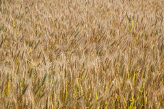 Yellow grain ready for harvest Royalty Free Stock Photography