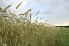 Yellow grain ready for harvest growing in farm field Royalty Free Stock Photo