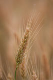 Yellow grain ready for harvest growing in a farm field. In italy Royalty Free Stock Image