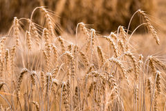 Yellow grain ready for harvest growing in a farm field Royalty Free Stock Images