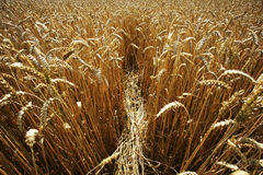 Yellow grain ready for harvest growing in a farm field. Summer, agriculture Stock Images